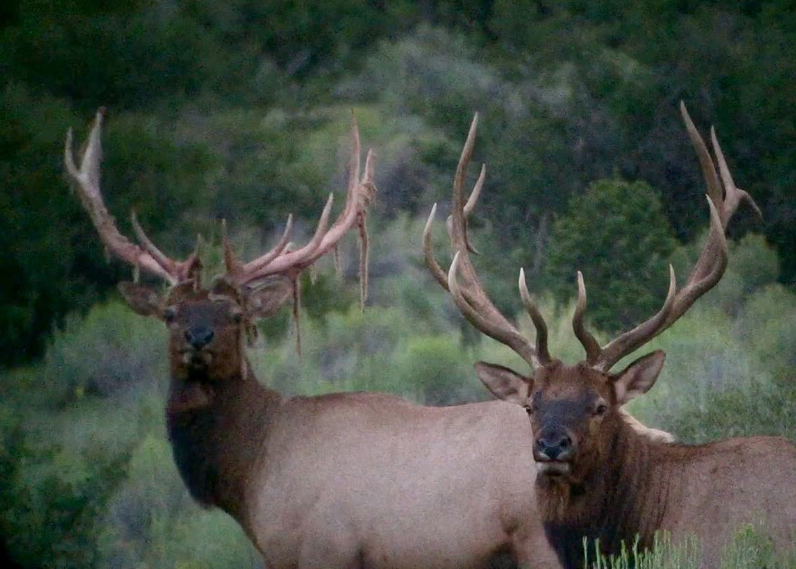 Elk Hunt in Arizona